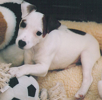 jack russell terrier dog - online dog encyclopedia - dogs in depth.com