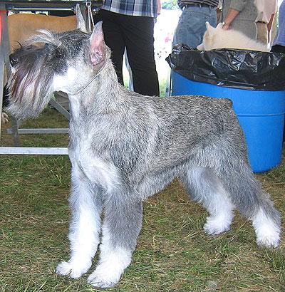 https://i1.wp.com/www.dogsindepth.com/terrier_dog_breeds/images/miniature_schnauzer_h03.jpg