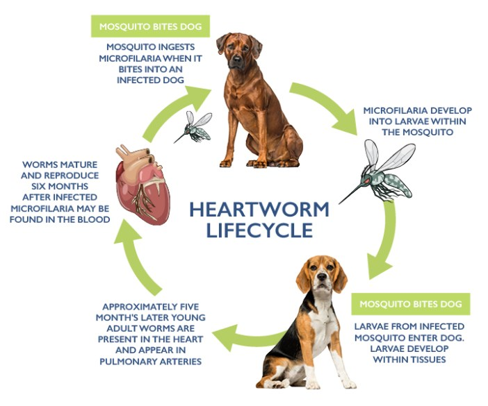 Why I Don't Give My Dogs Heartworm Meds