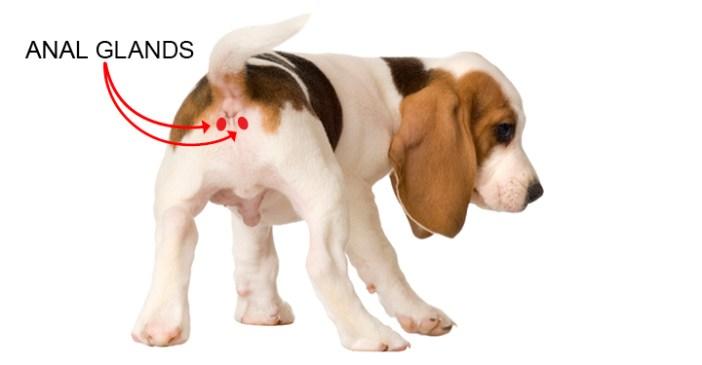 dog anal glands