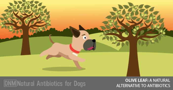 Olive Leaf Natural Antibiotic