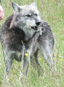 wolves 26