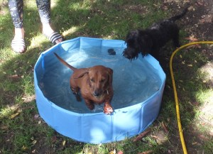 Dachsunds in dog paddling pool