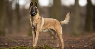 """Il cane da lavoro e la sua """"personalità"""": lo studio svedese"""