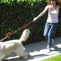 Il cane tira al guinzaglio!