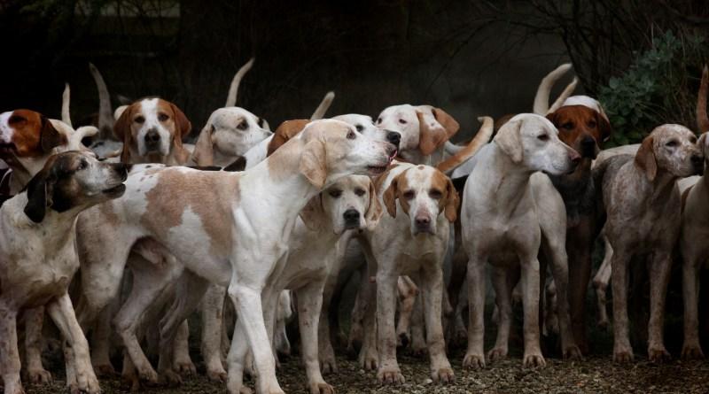 cani da caccia, adozioni