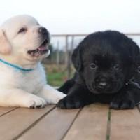 La cucciolata del Labrador: come prepararla e gestirla
