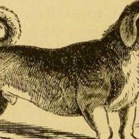 Il canis vertigus o cane girarrosto: un cane utile