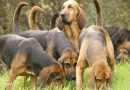 Bloodhound o Chien de Saint Ubert: un grande segugio