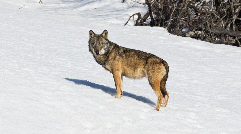 fotografare il lupo