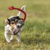 Jack Russell Terrier: storia, selezione e convivenza