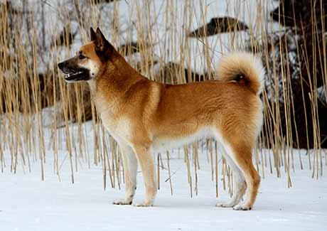 Cani del nord Europa