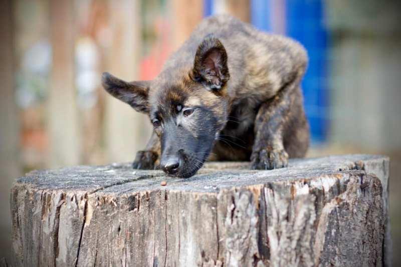 Il cane da pastore olandese