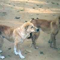 Cani curiosi dall'India: i veri Pariah e i loro cugini