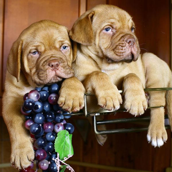 Two dogs in a grape barrel.