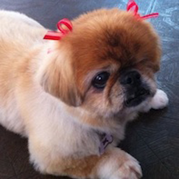 Pomeranian that just got groomed and has bows in hair.