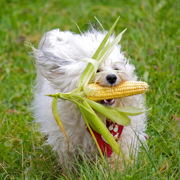 A Havanese dog holding a cob of corn.