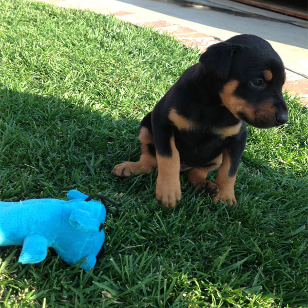 A Doberman Puppy playing with a toy.