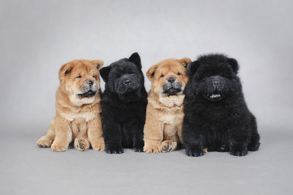 Chow Chows.