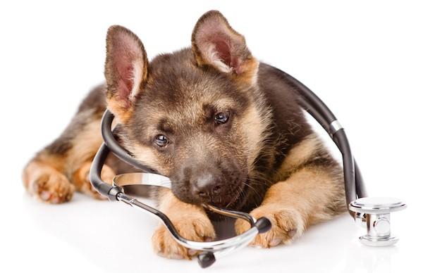 German Shepherd puppy by Shutterstock.