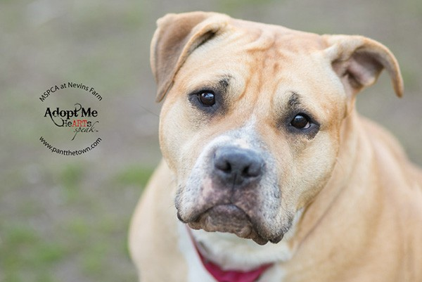 This happy-go-lucky bully mix is Nika! This irresistible 5-year-old's favorite things are lounging, catching hot dogs, and giving sloppy kisses. She would do best as the only pet in a home that will let her spend plenty of time on the couch and give her lots of love. She's waiting for you at MSPCA at Nevins Farm in Massachusetts. (Photo courtesy Darlene Woodward)