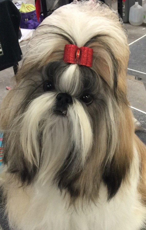 Shih Tzu courtesy Troy Clifford Dargin