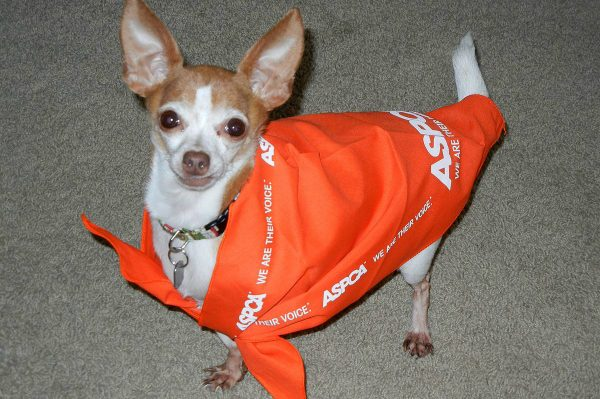 The doggy bandana Annie received after winning the ASPCA contest proves one size does not fit all. (Photo courtesy Emily Moncour)