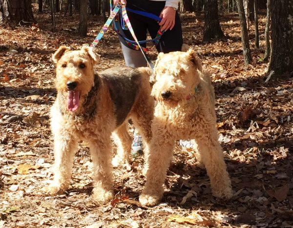 Airedale Terrier courtesy Tanya Pictor