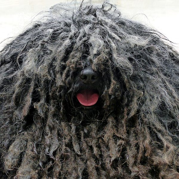 Image result for dreadlock sheepdog