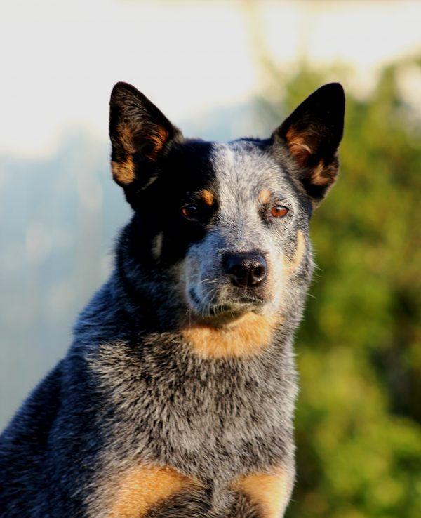 Australian Cattle Dog courtesy Sherry Clark