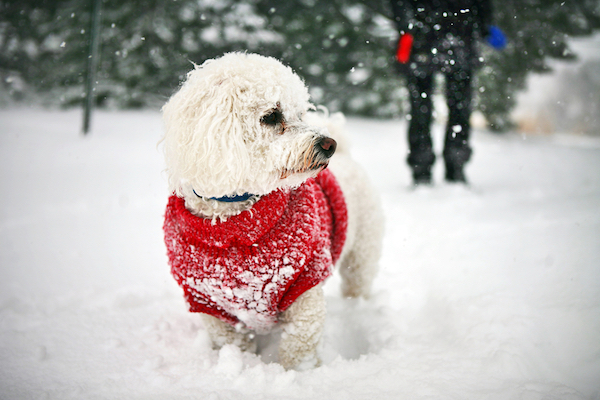 Dog in sweater by Shutterstock.