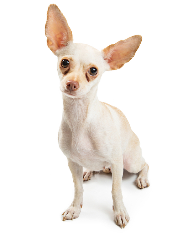 Chihuahua with tear stains by Shutterstock.