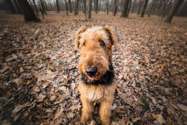 Airedale Terrier by Shutterstock