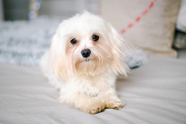 Maltese on bed by Shutterstock.