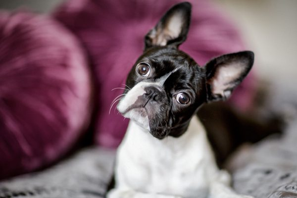 Brachycephalic dogs like Boston Terriers don't do well in summer heat. Photography by nailiaschwarz/Thinkstock.