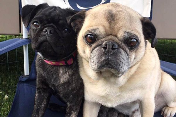 These two Pugs just aren't feeling the summer heat. Photography courtesy Robyn Ginther.