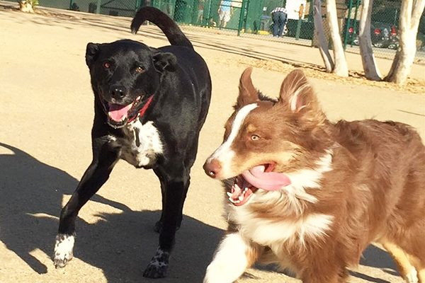Riggins and a friend enjoy a lap at the dog park. Photography by Wendy Newell.