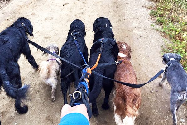 Happy, Damsel, Sissy, Boone, Spencer and Dragon enjoy a pack walk.