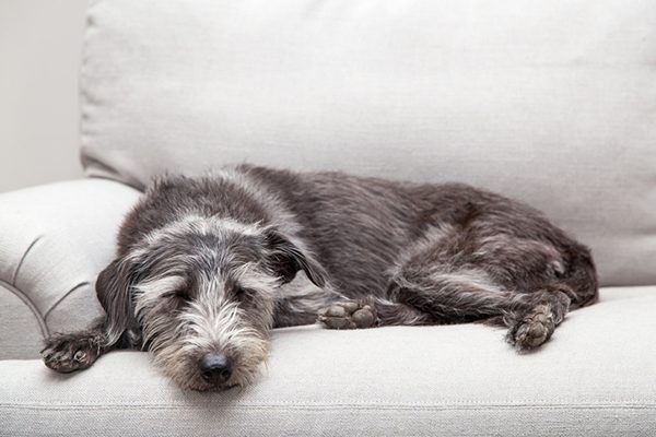 A dog relaxing on a gray couch.