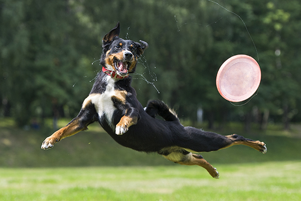 A Dog Running And Jumping In The Air After A Frisbee