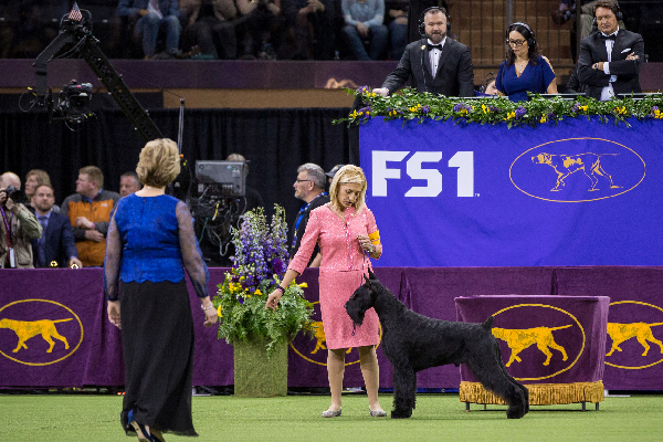 Ty the Giant Schnauzer.