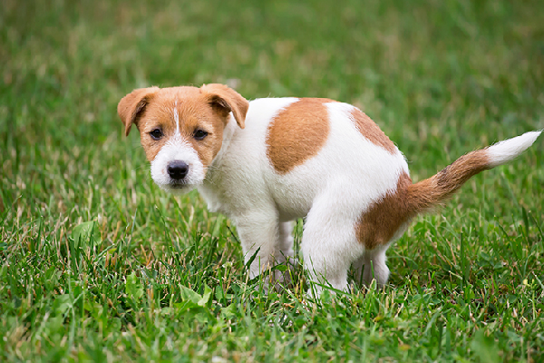 A dog squatting to pee or poop on the grass.