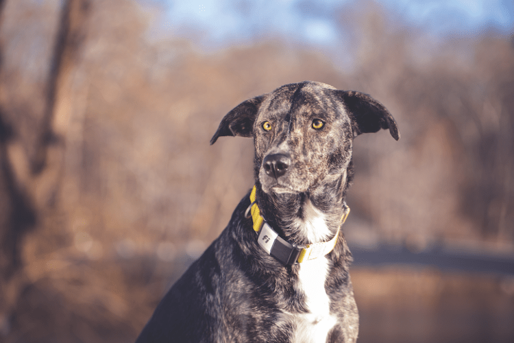 Tryfi.com fitness trackers for dogs