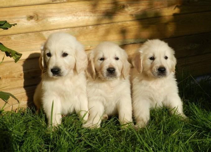 Trois chiots Golden Retriever.