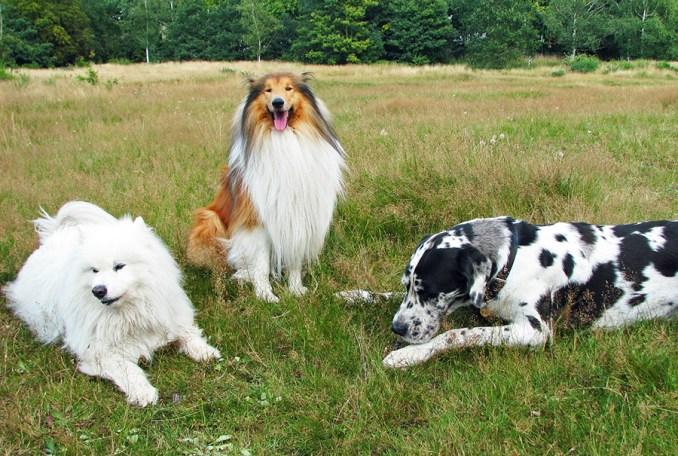 Groupes de races de chiens.