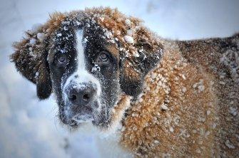 Saint Bernard dans la neige