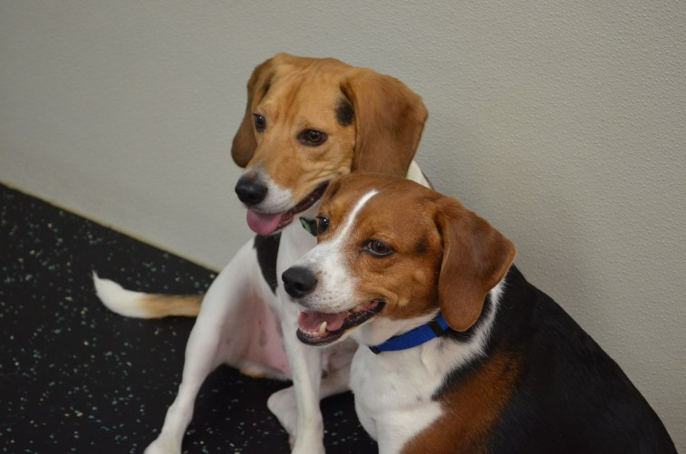 Best friends Duke and Billy-Bob, both Beagles, love hanging out together!