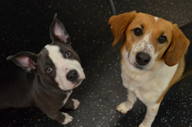 Lola, Pit Mix, and Cam Ward, Beagle Mix, love nothing more than hanging out and being adorable!