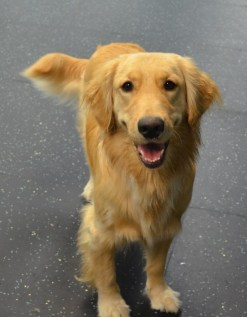 Lola, the Golden Retriever, is happy and relaxed at Dogtopia.