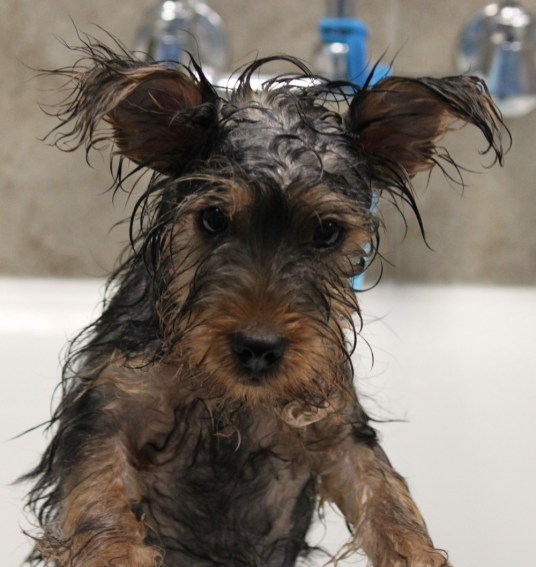 Wet dog getting a bath